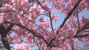 Różowy Sakura drzewo