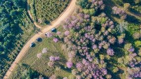 Różowy Sakura kwiat lub Dzika Himalajska wiśnia na górze Obrazy Royalty Free