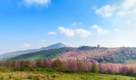 Różowy Sakura kwiat lub Dzika Himalajska wiśnia na górze Fotografia Royalty Free