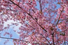 Różowy Sakura kwiat przy Thailand górami fotografia stock