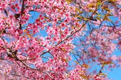 Różowy Sakura kwiat z niebieskim niebem w wiośnie fotografia royalty free