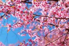 Różowy Sakura kwiat z niebieskim niebem w wiośnie obraz stock