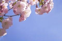 Różowy Sakura kwitnie na niebieskiego nieba tle Zbliżenie strzał zdjęcia royalty free