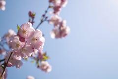 Różowy Sakura kwitnie na rozmytym niebieskiego nieba tle Zbliżenia sho Obrazy Royalty Free