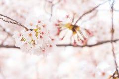 Różowy Sakura okwitnięcia kwiat z gałąź Zdjęcie Royalty Free
