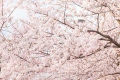 Różowy Sakura okwitnięcia kwiat z gałąź Obrazy Stock