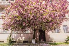Różowy Sakura okwitnięcie w miasteczku obrazy stock