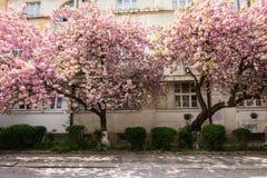 Różowy Sakura okwitnięcie w miasteczku fotografia stock