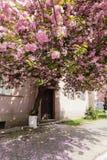 Różowy Sakura okwitnięcie w miasteczku zdjęcie royalty free