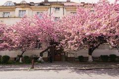 Różowy Sakura okwitnięcie w miasteczku obraz royalty free