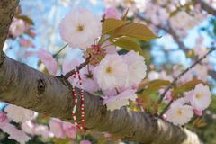 Różowy Sakura okwitnięcie z tradycyjną Bałkańską wiosny bransoletką Zdjęcie Royalty Free