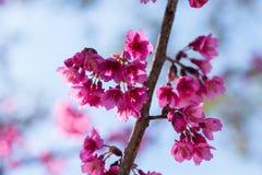 Różowy Sakura z pięknym drogowym Doi Ang Khang, Chiang Mai, Tajlandzki Fotografia Stock