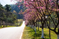 Różowy Sakura z pięknym drogowym Doi Ang Khang, Chiang Mai, Tajlandzki Fotografia Royalty Free