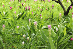 Różowy Siam tulipan Zdjęcia Stock