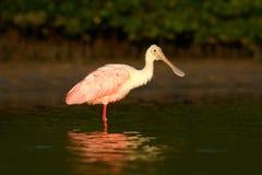 różowy spoonbill ptaka Piękny wschód słońca z ptakiem, Platalea ajaja, Roseate Spoonbill w wodnym słońce plecy świetle, szczegółu Fotografia Royalty Free