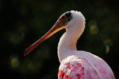 różowy spoonbill ptaka Piękny wschód słońca z ptakiem, Platalea ajaja, Roseate Spoonbill w wodnym słońce plecy świetle, szczegółu Obraz Royalty Free