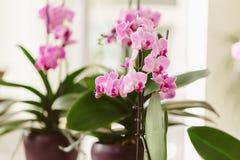 Różowy storczykowy dorośnięcie przy wnętrzem Fotografia Stock