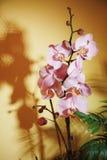 Różowy storczykowy kwiat na żółtym tle Zdjęcie Stock