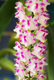 Różowy storczykowy kwiat w naturze Fotografia Stock