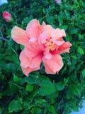 Różowy szczęście Obraz Royalty Free