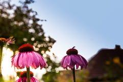 Różowy szyszkowy kwiatu Echinacea purpurea zakończenie up strzelał przy zmierzchem zdjęcia stock