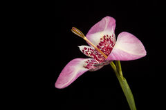 Różowy tigridia kwiat obraz royalty free