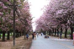 Różowy tubowego drzewa kwiatu okwitnięcie Zdjęcia Royalty Free