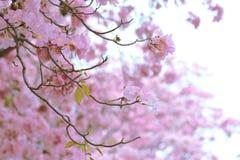 Różowy tubowego drzewa kwiatu okwitnięcie Zdjęcie Royalty Free