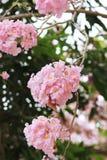 Różowy tubowego drzewa kwiatu okwitnięcie Zdjęcia Stock