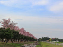 Różowy tubowego drzewa kwiatu okwitnięcie Fotografia Stock
