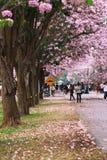Różowy tubowego drzewa kwiatu okwitnięcie Obraz Stock