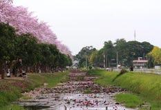 Różowy tubowego drzewa kwiatu okwitnięcie Obraz Royalty Free