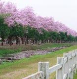 Różowy tubowego drzewa kwiatu okwitnięcie Zdjęcie Stock