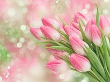 Różowy tulipan kwitnie wiosen okwitnięcia Zdjęcia Royalty Free