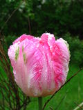 różowy tulipan mokre zdjęcia royalty free
