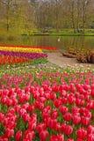 Różowy tulipan z colourful tulipanami w różnych rzędach behind w Keukenhof Zdjęcie Stock