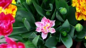 Różowy tulipan z i innymi jaskrawymi tulipanami różowymi, żółtymi i tulipanów pączkami wokoło go Obraz Royalty Free