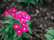 Różowy verbena hybrida okwitnięcia kwiat Fotografia Royalty Free