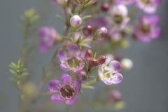 Różowy waxflower zbliżenie Zdjęcia Royalty Free