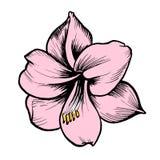 Różowy wektorowy kwiat z czerń inked linią ilustracja wektor