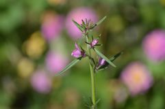 różowy wildflower obraz royalty free