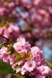 Różowy wiosny okwitnięcie kwitnie bokuh Zdjęcie Stock