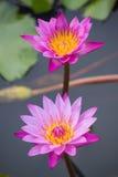 Różowy wodnej lelui Nymphaea Masaniello wśród zielonych liści Obrazy Royalty Free