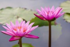 Różowy wodnej lelui Nymphaea Masaniello wśród zielonych liści Obraz Royalty Free