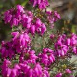 Różowy wrzos zdjęcie stock