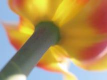 różowy zbliżania tulipanowy żółty Fotografia Royalty Free