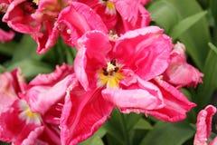 różowy zbliżenie tulipan Obraz Royalty Free