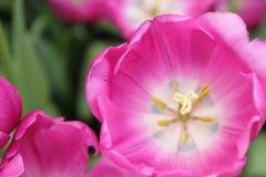 różowy zbliżenie tulipan Zdjęcia Royalty Free
