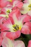 różowy zbliżenie tulipan Obraz Stock