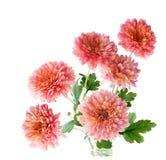 Różowy Zimnotrwały Mum Obraz Stock